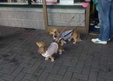Orang Jepang sangat menyukai anjing, di dandani seperti anak sendiri